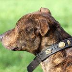 Sammy - Staffordshire Bull Terrier