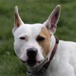 Bonnie - English Bull Terrier Cross