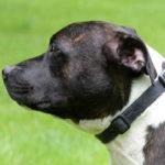 Bertie - Staffordshire Bull Terrier